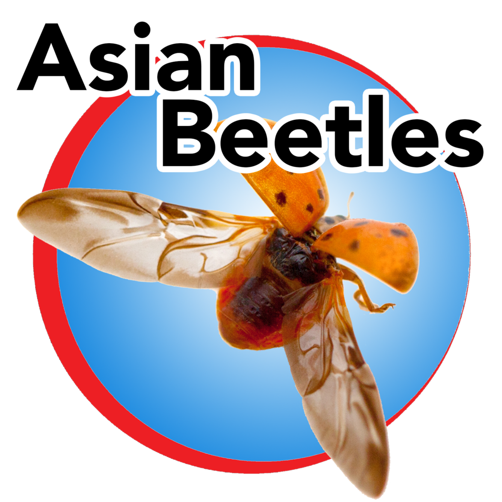 asian beetles blue button.png
