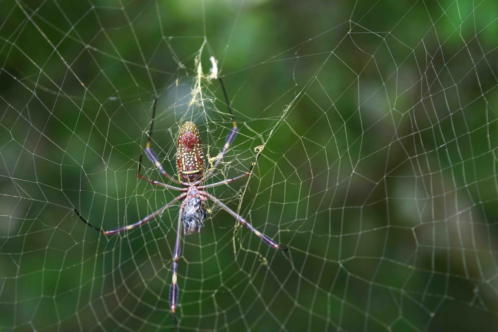 The huge spider turned out to be a banana spider--not poisonous, quite common, and visually stunning--even from its underside. - photo by Michele Christle