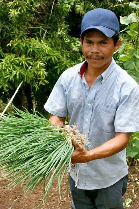 Demetrio Martinez harvests green onions on his organic farm in Panama.