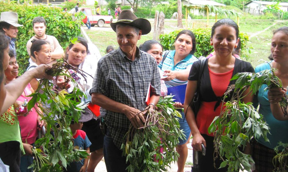 Farmers in Santa Cruz del Dulce, Honduras, receive sweet potato shoots for their home gardens. - photo by Consuelo Hernandez