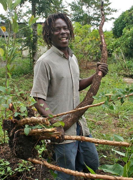 Tree roots and agriculture in Punta Gorda, Belize