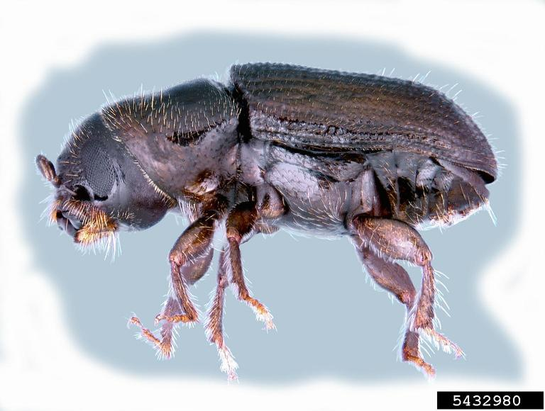 The Southern Pine Beetle ( Dendroctonus frontalis ) - photo by  Erich G. Vallery, USDA Forest Service - SRS-4552, Bugwood.org