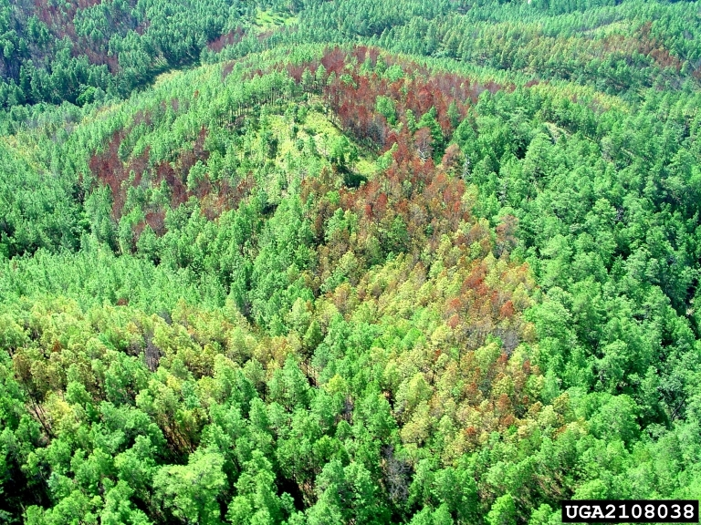 Aerial view of a bark beetle infestation in a pine forest in the Olancho Forest Region, Honduras. - photo by Ronald F. Billings, Texas A&M Forest Service,  Bugwood.org
