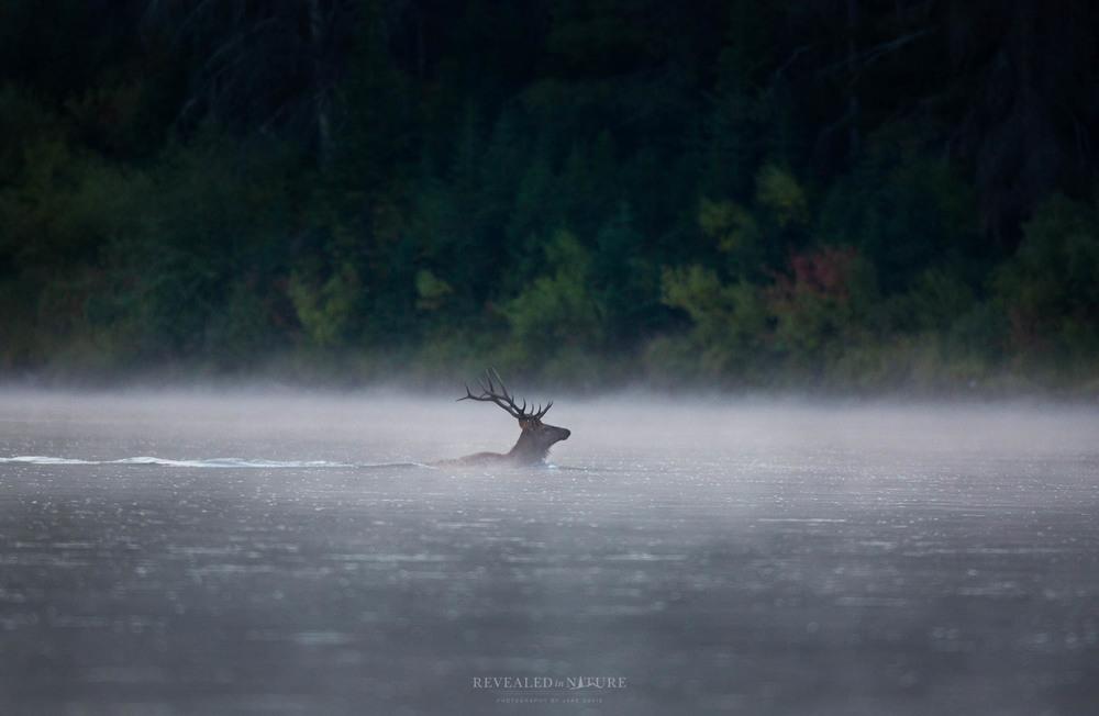 Grand Teton Elk