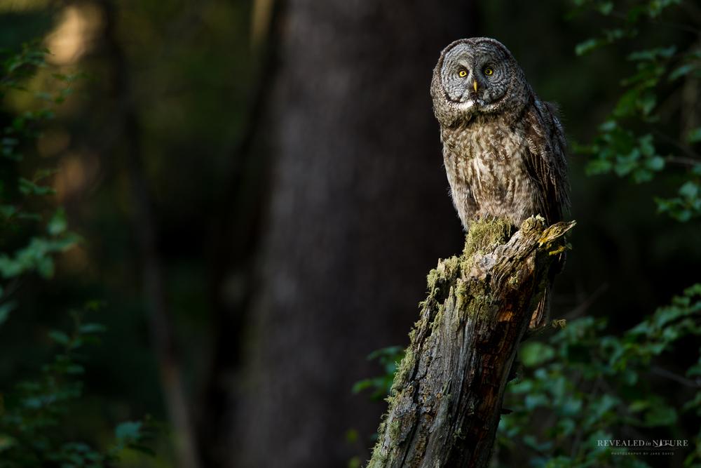 Great Grey Owl in Yellowstone