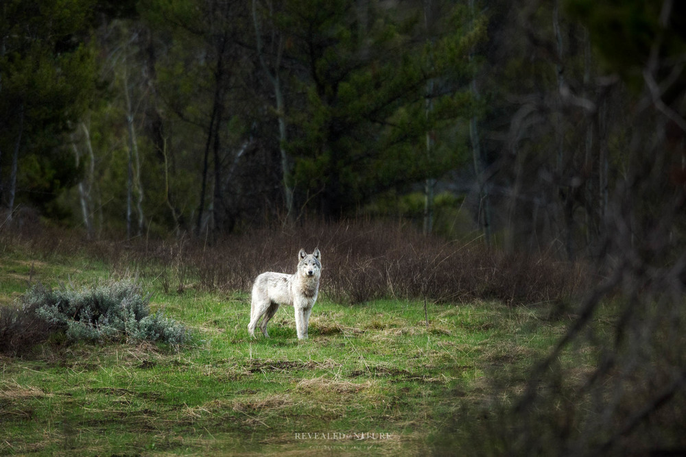 See Yellowstone Wolves