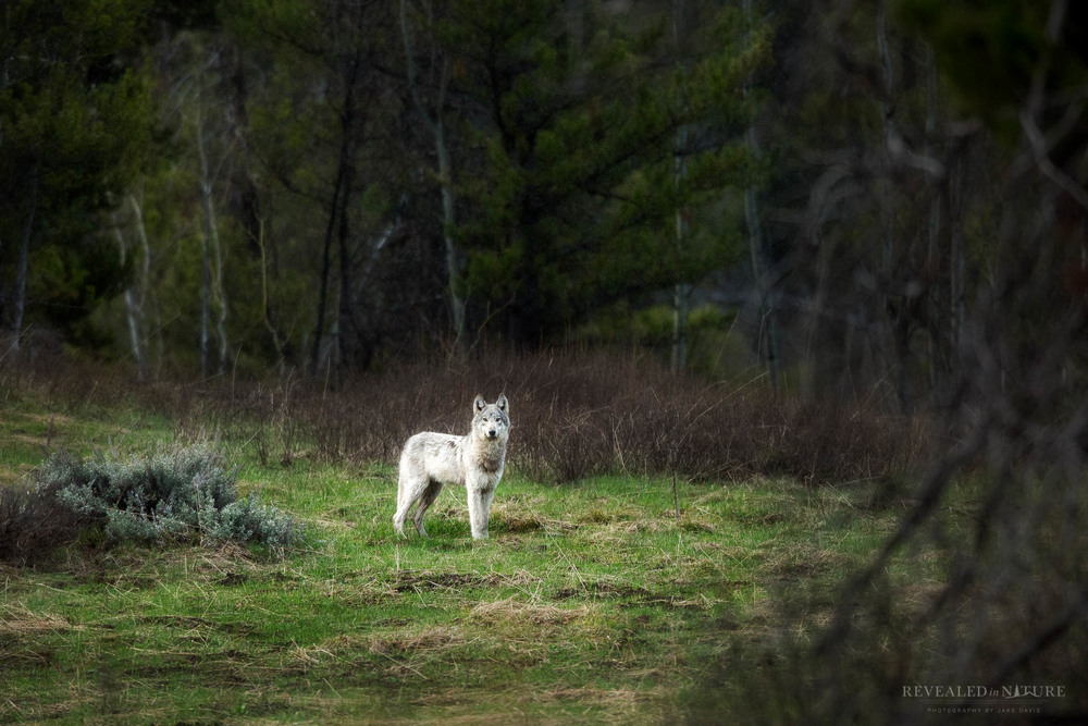 Photograph Yellowstone Wolf
