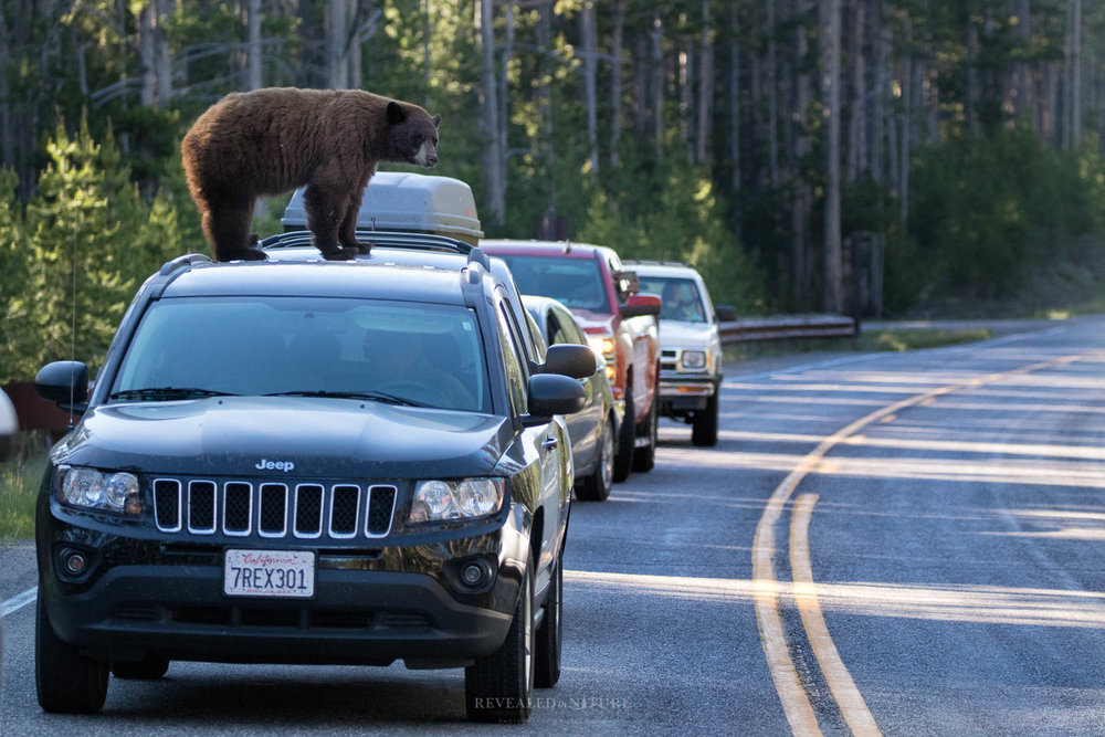 30 (Habituated & likely previously fed black bear on Craig Pass in YNP)