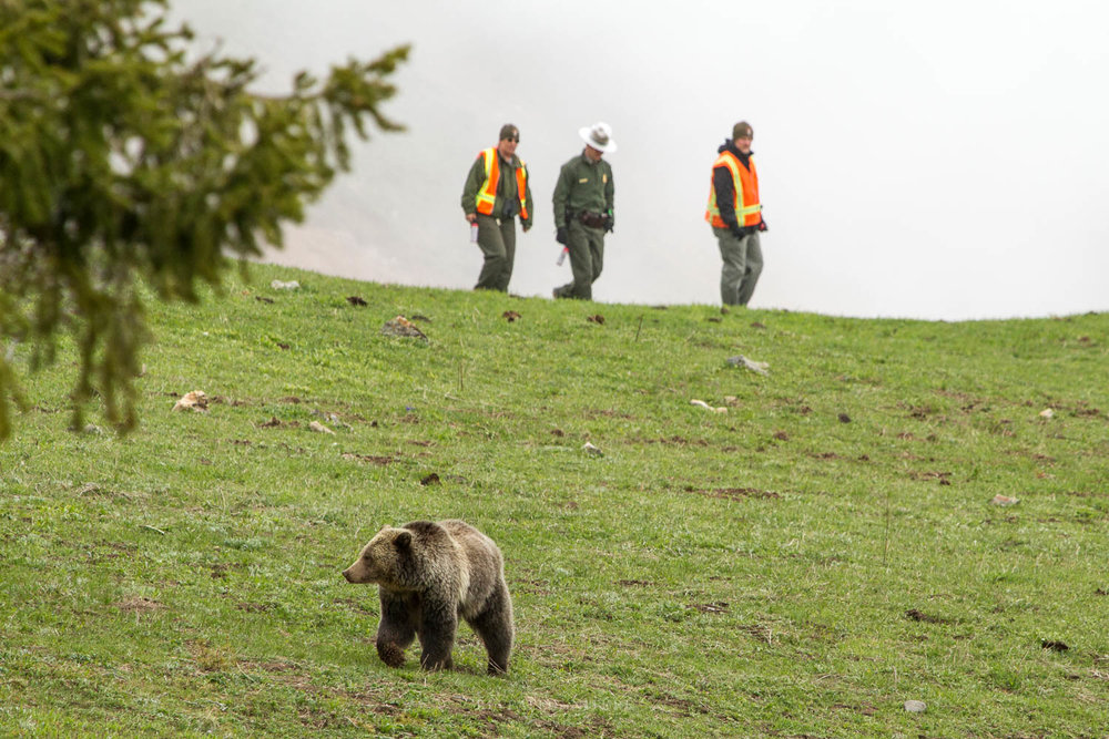 28 (Grizzly Hazed Away from Roadside in YNP)