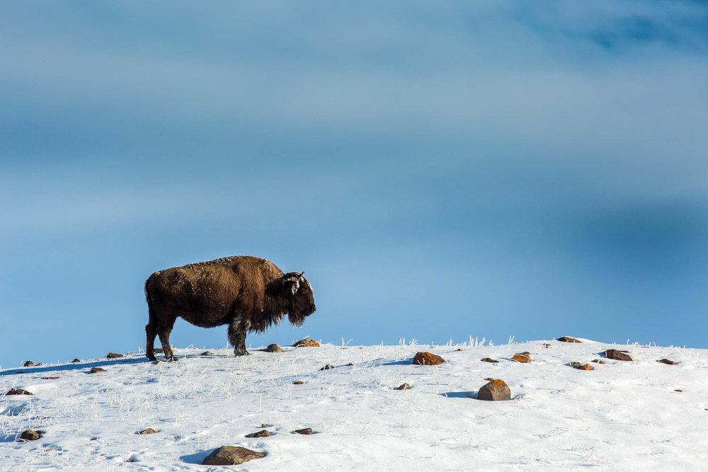 Photography Yellowstone Winter