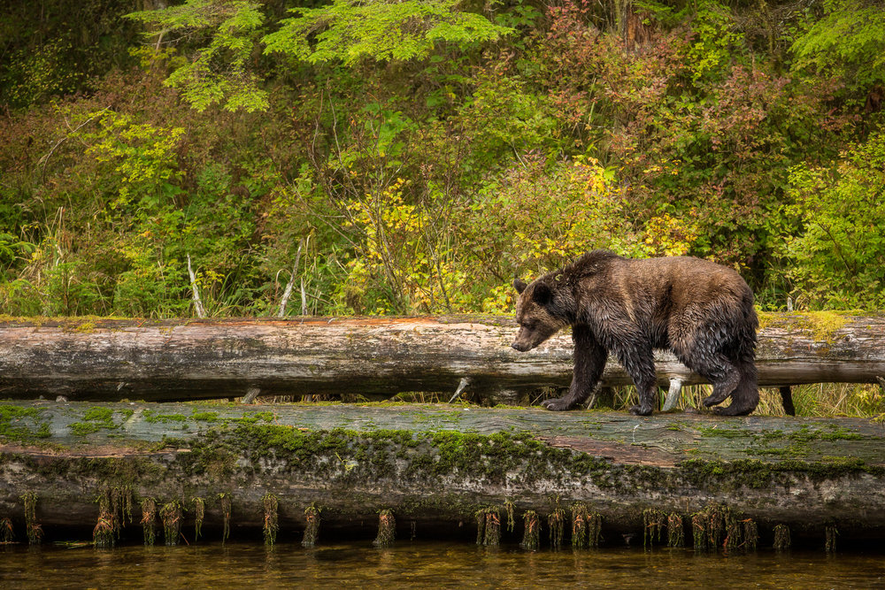 As the salmon run comes to an end each year in the Great Bear Rainforest, the dead fish wash downstream. Some are carried all the way to sea, but many of the morts collect under various log jams. I prefer my salmon fresh, so the overpowering smell of rotten fish is repulsive, but for this grizzly it was a golden opportunity to continue fattening up for hibernation.