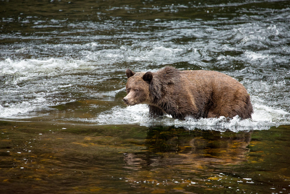 After following a network of bear trails along a stream we made our way to a bend that looked like a likely fishing spot, and hunkered down in the rain on a mossy outcrop with a clear view up and down stream and waited. After a few minutes I noticed the head of this beautiful bear emerging from the forest just below us. He then proceeded to cross the river in front of us.