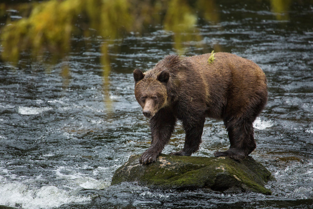 GBR bear on rock.jpg