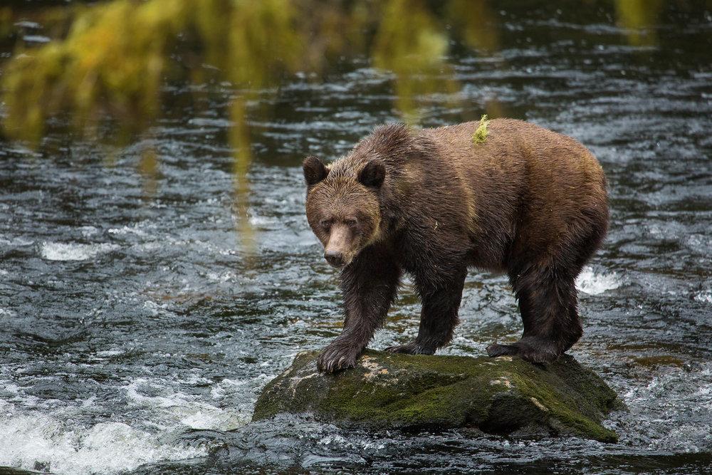 GBR bear on rock.jpg