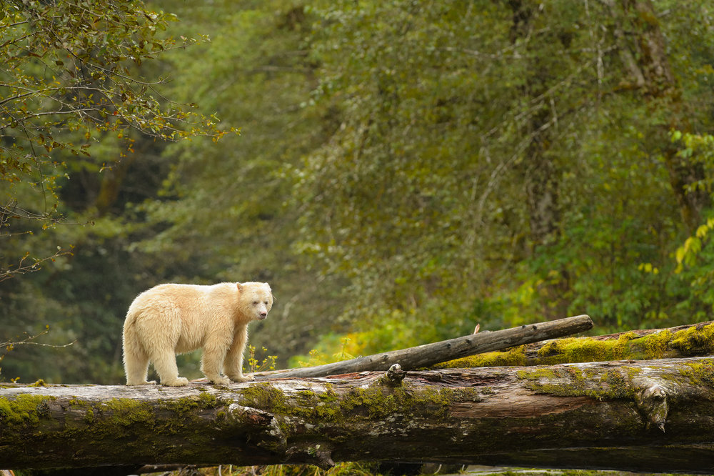 *This image was not taken by me, but it features the Spirit bear. The design and timing of our trip is intended to maximize our potential of seeing and photographing this rare species.