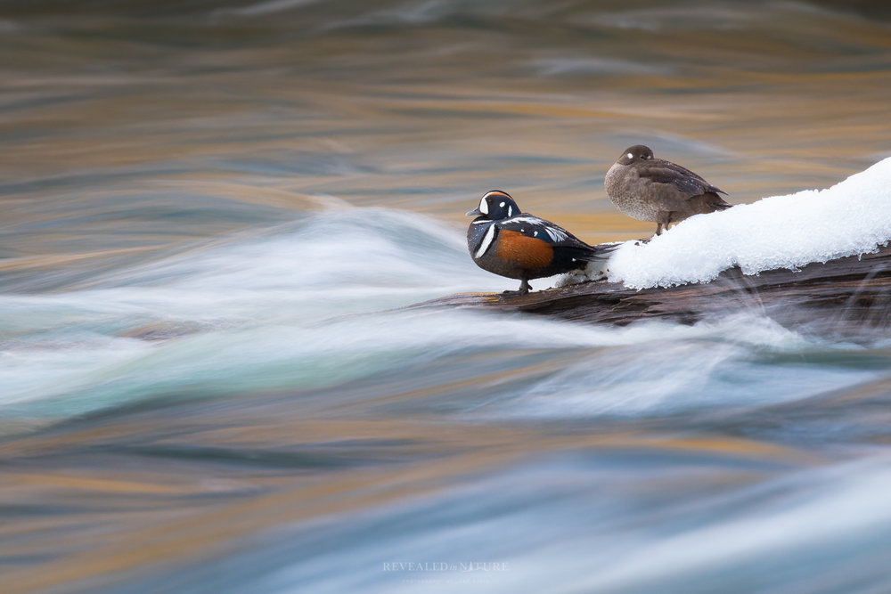Yellowstone Ducks.jpg