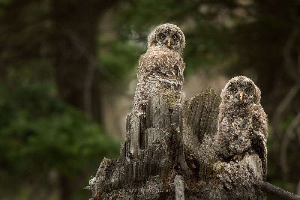 Great Grey Owls in Tetons