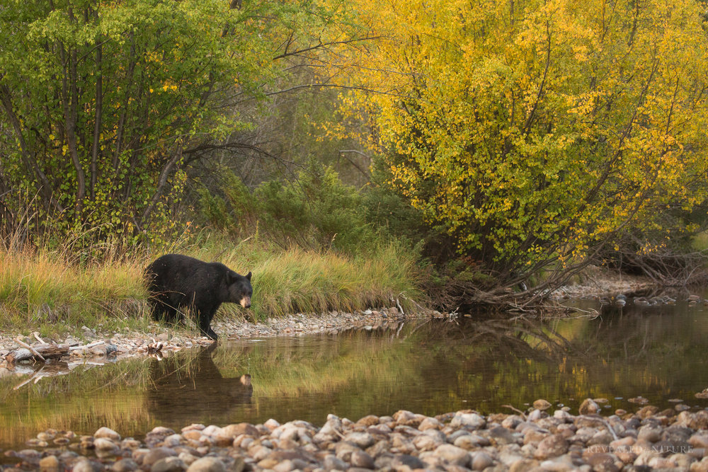 Grand Teton Black Bear