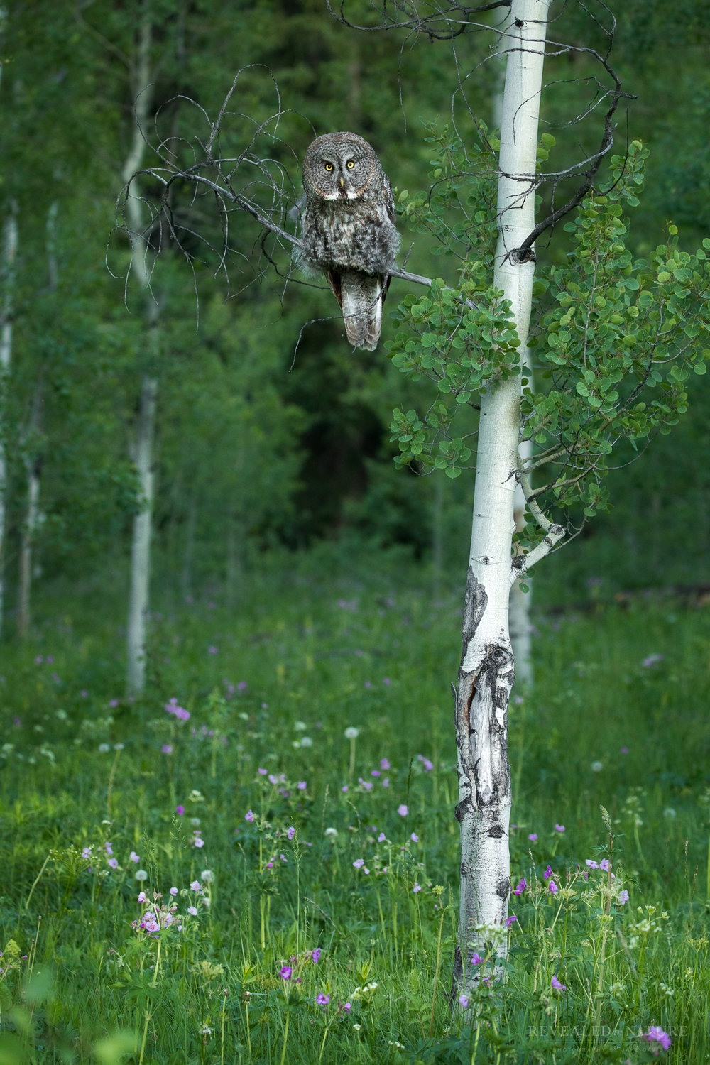 Great Grey Owl in Aspen