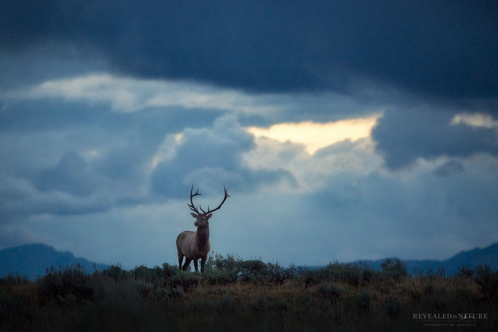 windy point elk.jpg