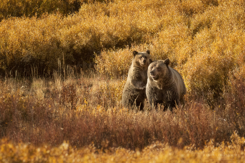 Photograph Grizzly Bear