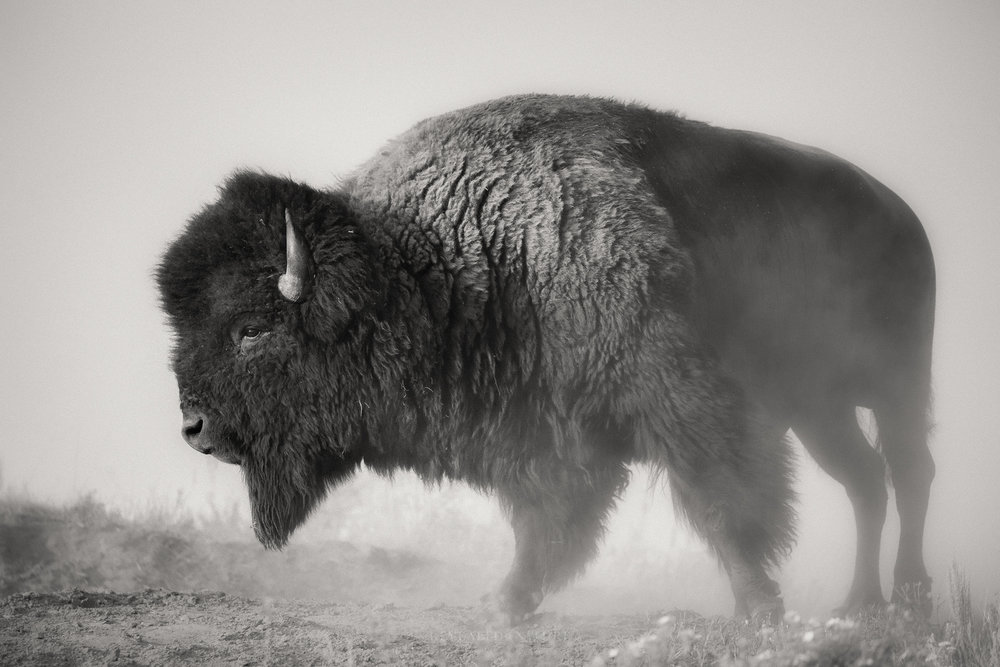 B&W Bison in Dust.jpg