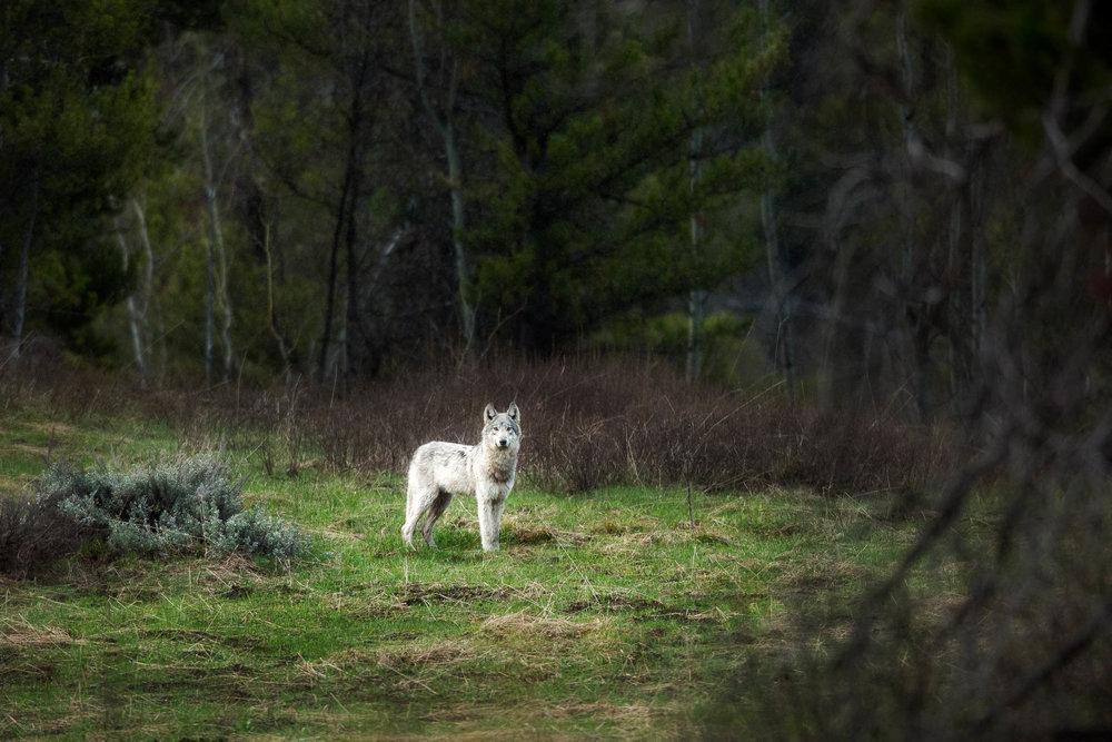 Photograph Yellowstone Wolf.jpg