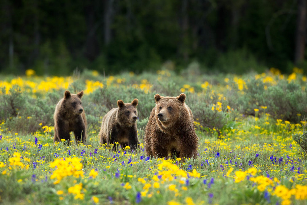 Yellowstone Grizzly-399.jpg