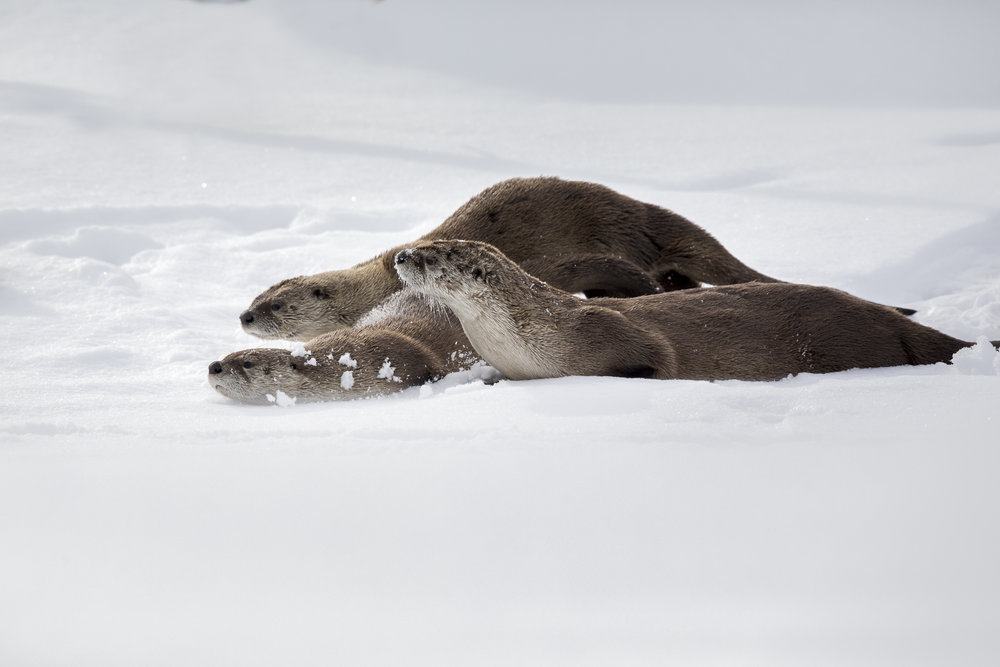 River Otters Sliding