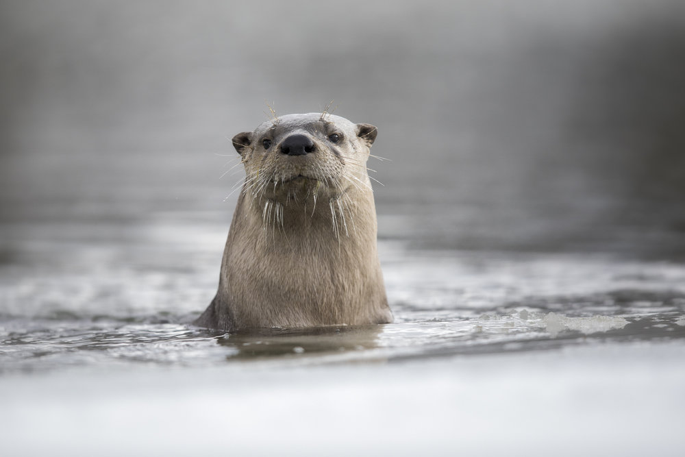 River Otter Swimming
