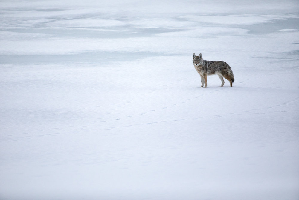 Coyote in Grand Teton Park