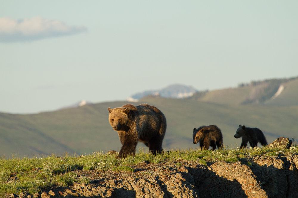 Bears-4.jpg