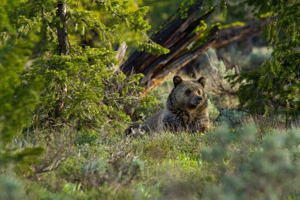 Bears-5.jpg