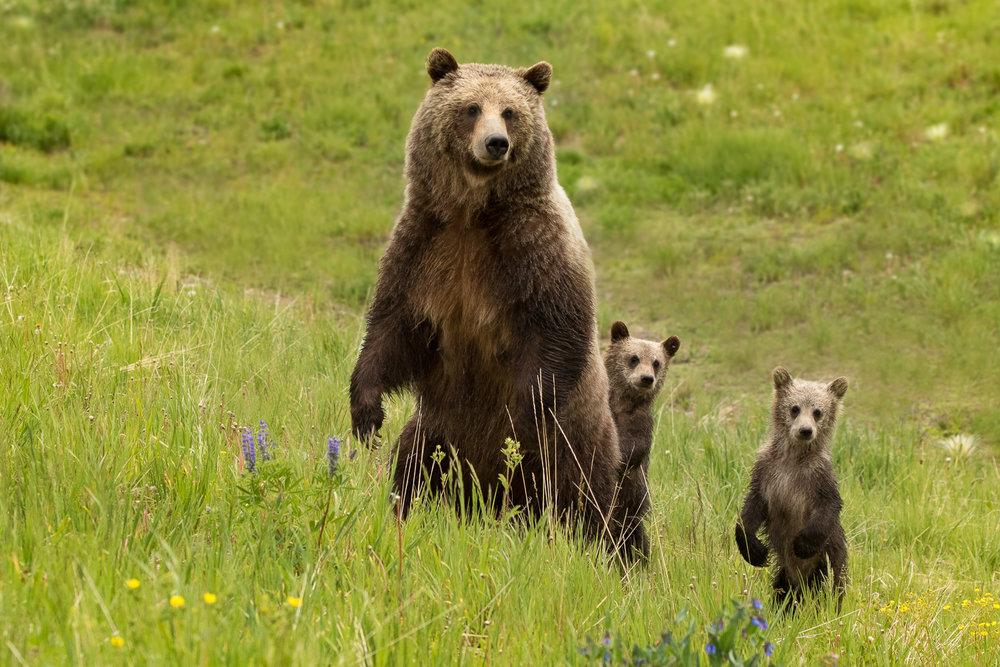 Bears-20.jpg