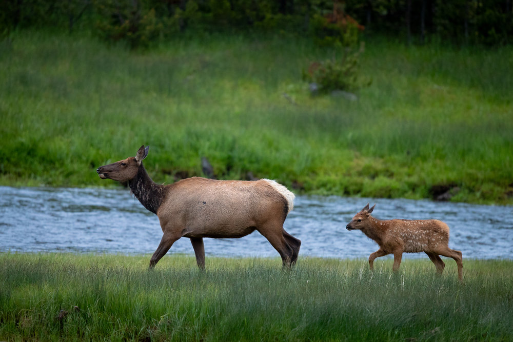 A cow elk walks the bank of the Madison River with her newborn calf.