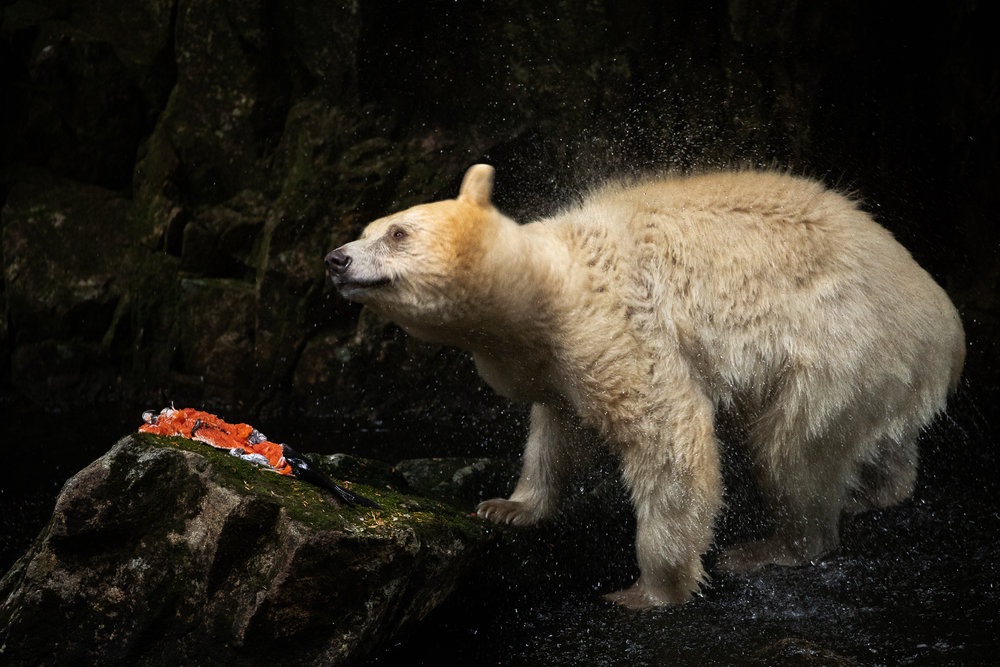 Spirit bear eats salmon