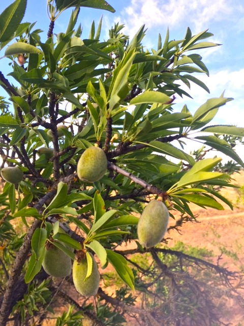 Young green almonds on the tree. Almonds are a stone fruit, called a drupe by botanists, and are closely related to peaches. Almonds, however, have an edible seed.