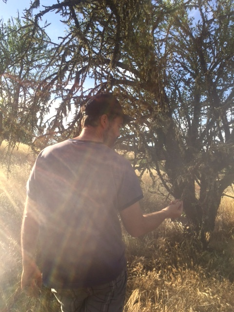 Nate inspecting an older almond tree on his Paso Robles ranch.