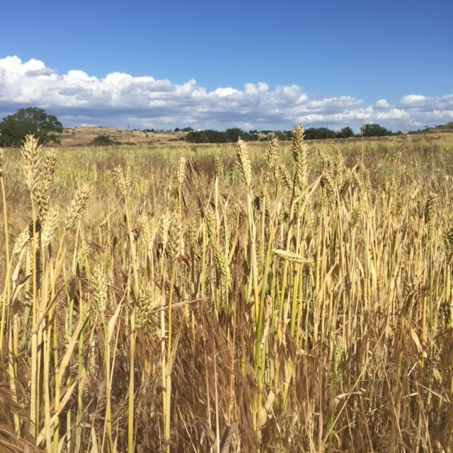 Wild grains make up the lower canopy on the ranch