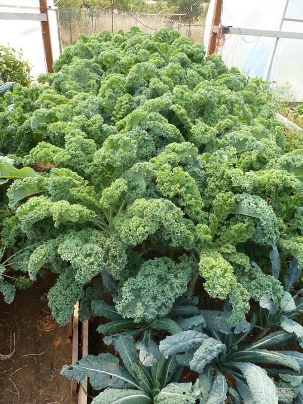 Organic kale from Lesedi Farm