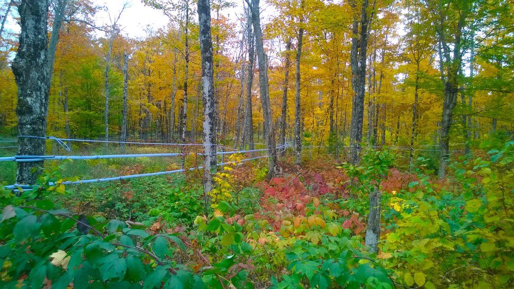 Maple trees of Square Deal Farm with tapping network