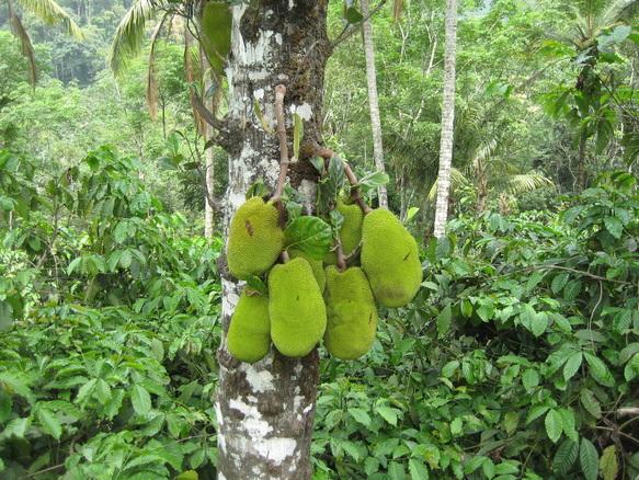 Jackfruit in Kerala, India