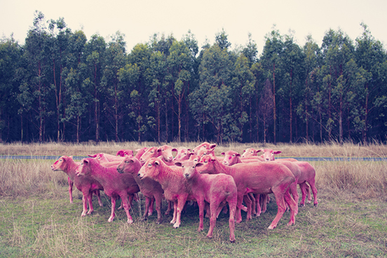 Pink-Sheep.jpg