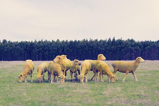 Yellow-Sheep.jpg