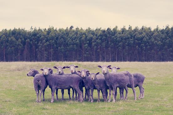Purple-Sheep1.jpg