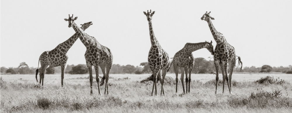 Looking at Five Giraffes - Janaina Matarazzo