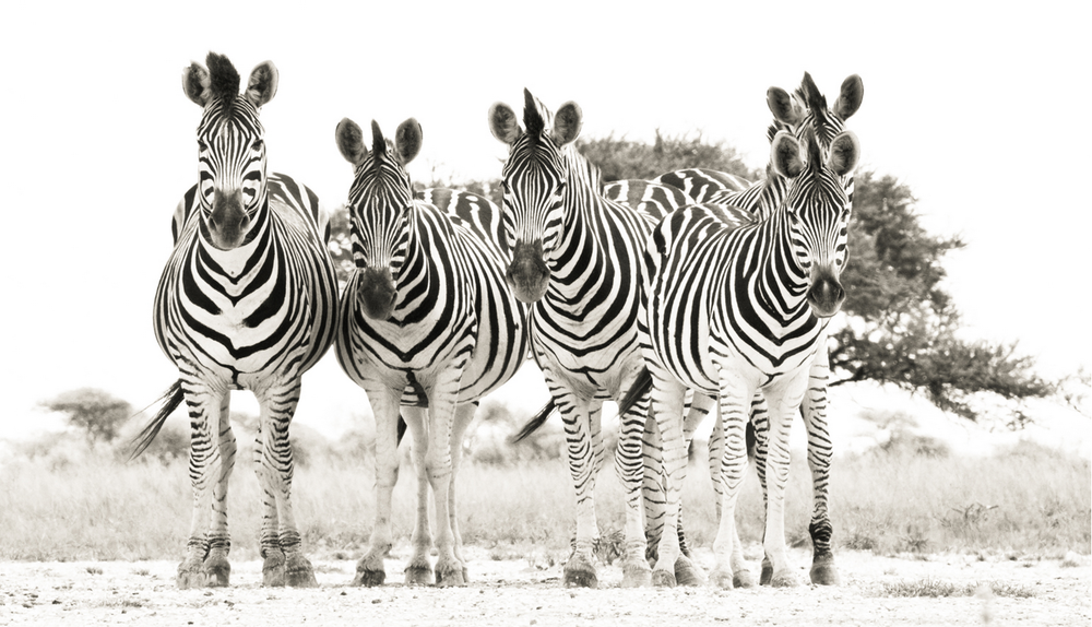 Eye to Eye with Zebras - Janaina Matarazzo