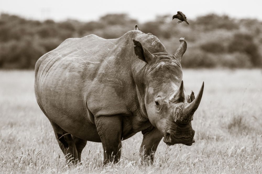 A Mother Rhino and Little Birds - Janaina Matarazzo