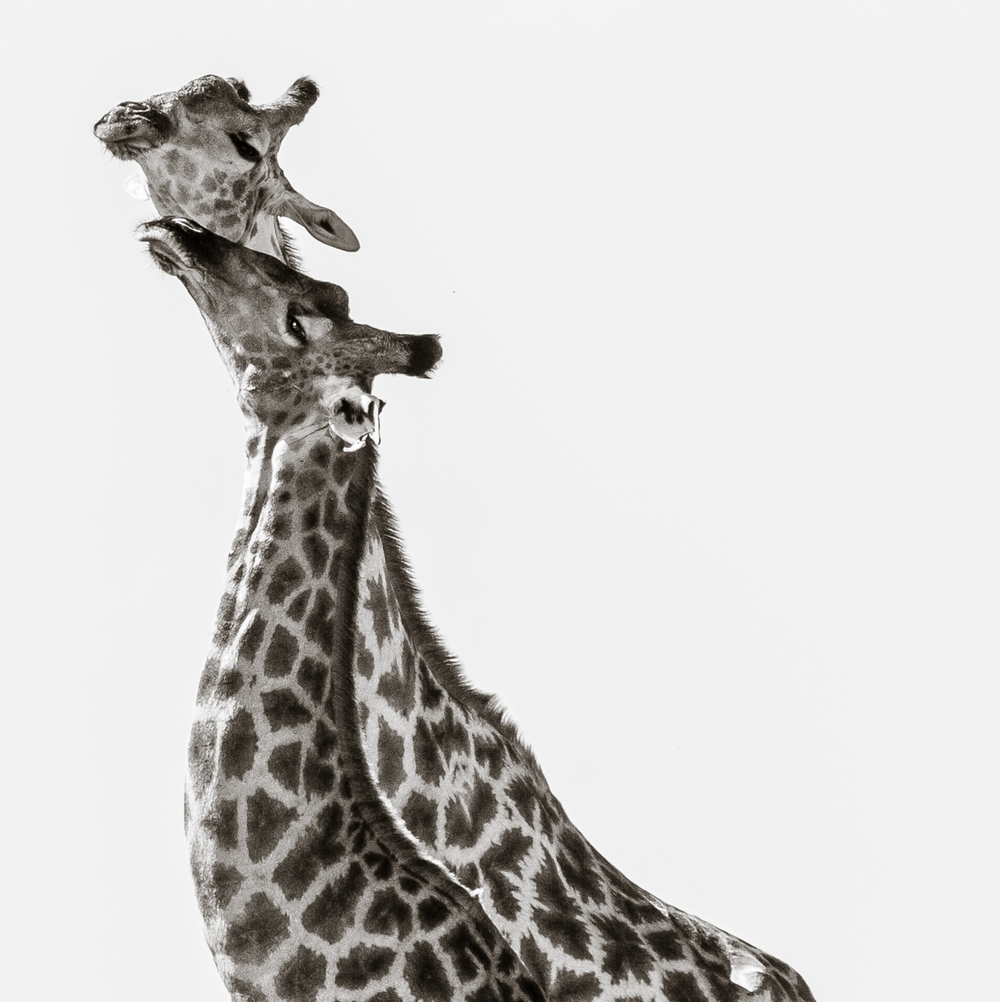 Love for Giraffes - Janaina Matarazzo