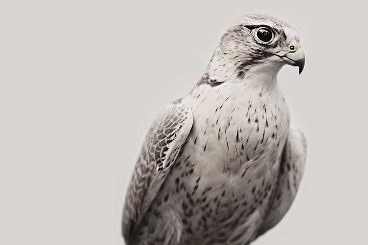 falcon_01.jpg